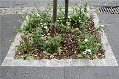 Weeds and rubbish surround the newly planted tree
